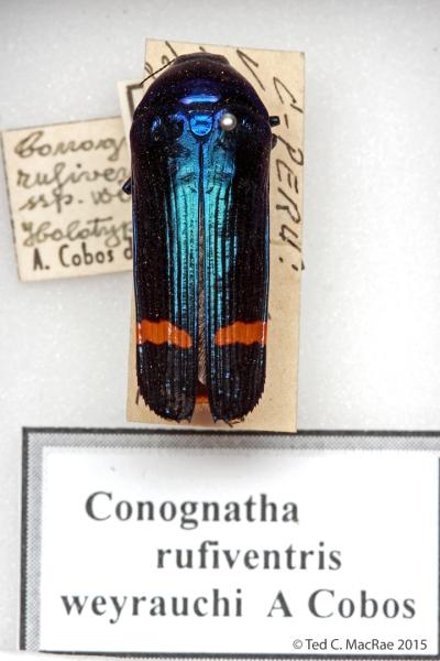 Conognatha rufiventris weyrauchi Cobos, 1969