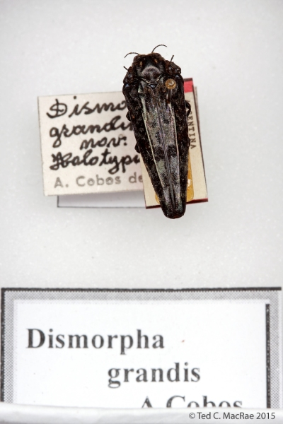 Dismorpha grandis Cobos, 1990