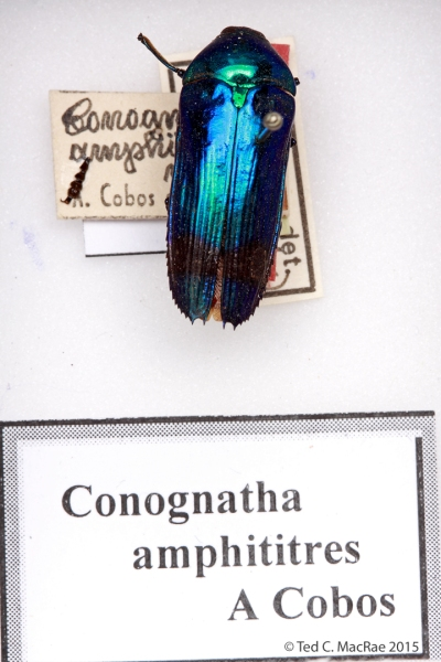 Conognatha amphititres Cobos, 1958 (syn. of Buprestis amoena Kirby, 1818; currently placed in Conognatha)