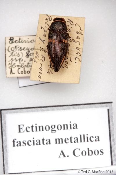 Ectinogonia (Pseudolampetis) fasciata metallica Cobos, 1969
