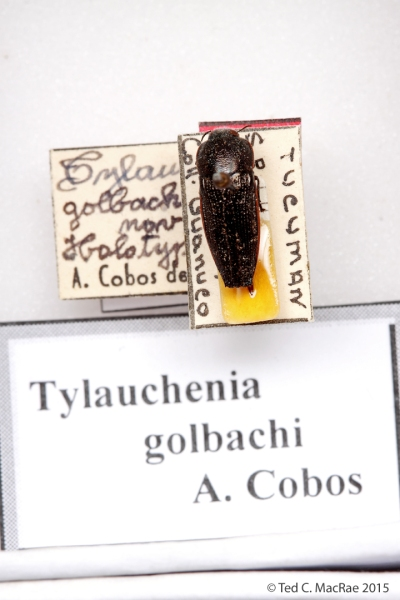 Tylauchenia golbachi Cobos, 1993 (currently placed in Oocypetes)