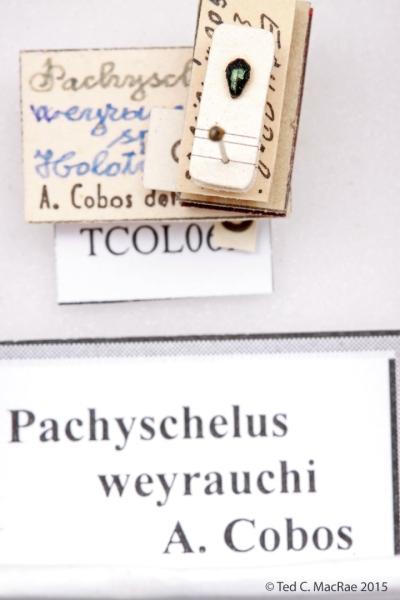 Pachyschelus weyrauchi Cobos, 1959
