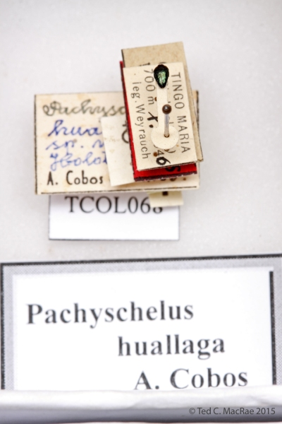 Pachyshelus huallaga Cobos 1969 (correct spelling is huallagus)