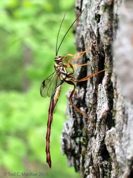 Megarhyssa macrurus (male) | Hilda Young Conservation Area, Jefferson Co., Missouri