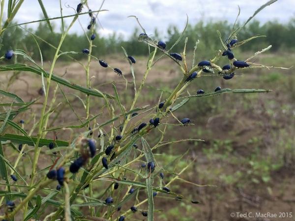 Altica bimarginata (willow flea beetle)