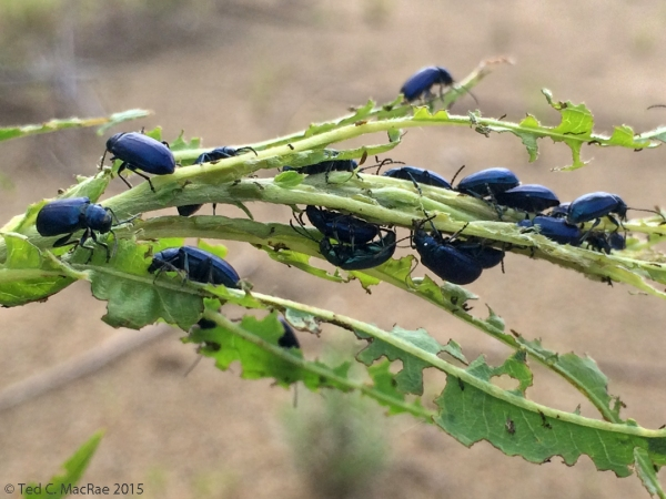 Altica bimarginata (willow flea beetle)