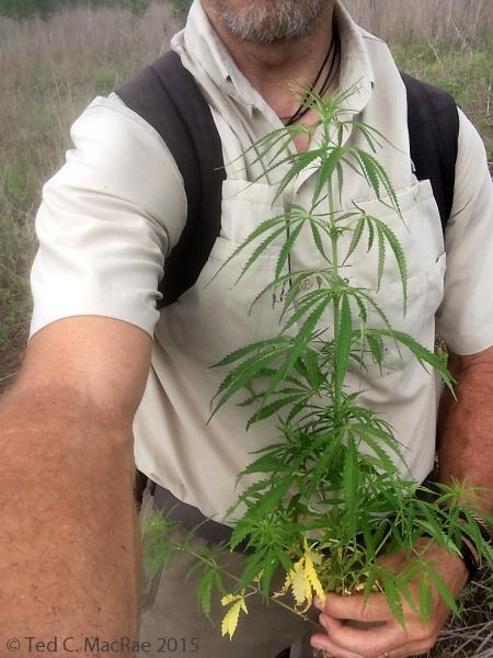 Wild hemp (Cannabis sativa)