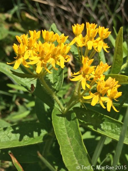 """Asclepias tuberosus """"yellow form"""""""