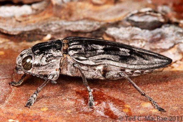 Chalcophora virginiensis