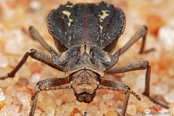 Entomoderes satanicus