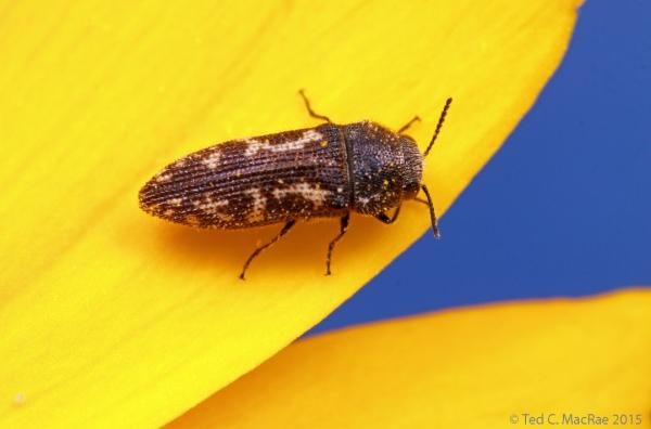 Acmaeodera neglecta