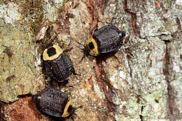American carrion beetles (Necrophila americana) aggregating at sap flow on the trunk of an oak (Quercus sp.) tree.