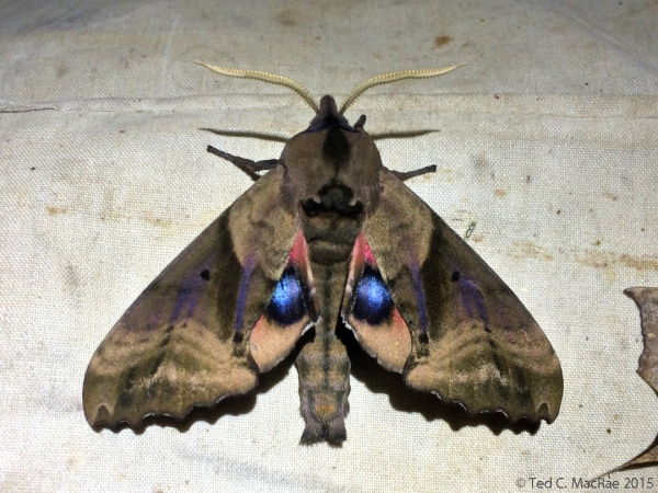 Blinded Sphinx, Paonias excaecata