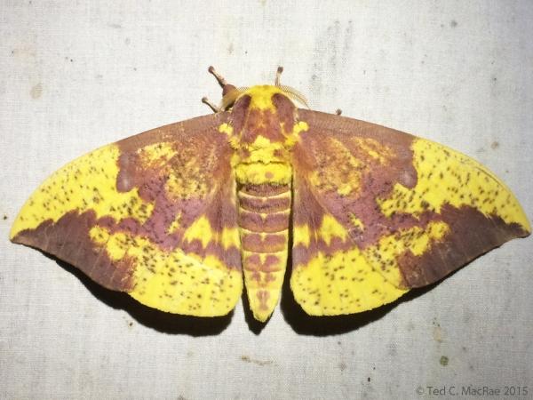 Eacles imperialis (imperial moth)