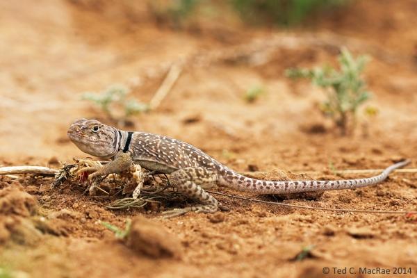 Crotaphytus collaris (common collared lizard)
