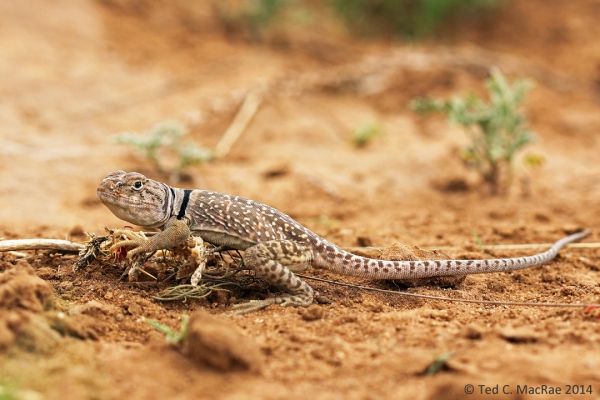 Crotaphytus collaris (common collared lizard)