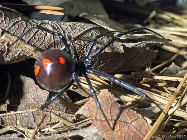 Black widow spider (Latrodectus mactans) female
