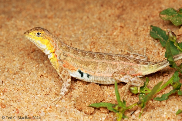Holbrookia maculata (lesser earless lizard)