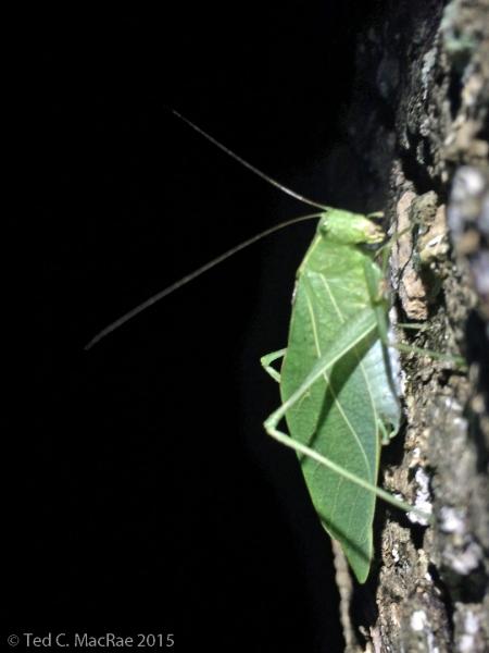Undet. adult katydid?