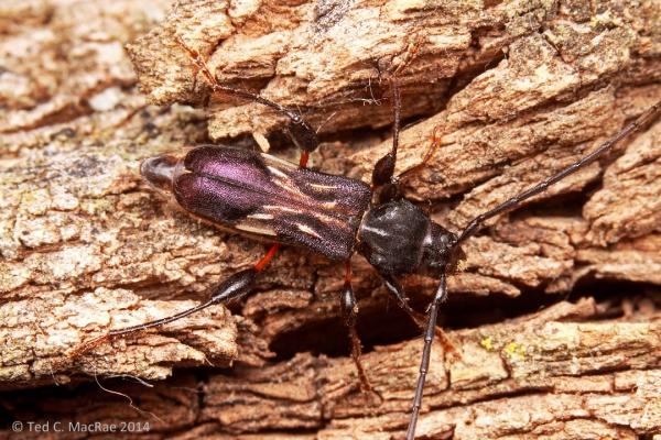 Physocnemum brevilineum
