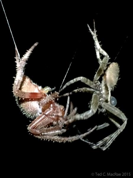 Neoscona sp. courtship