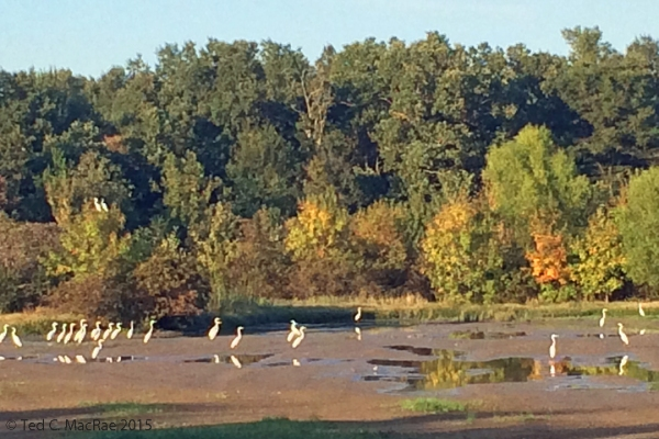 Egrets congregating on mud flats