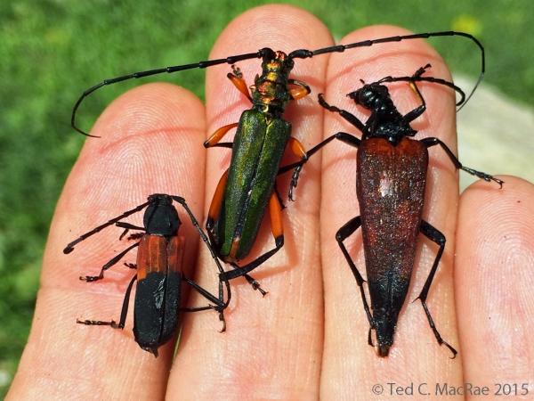 Cerambycidae from fermenting bait trap