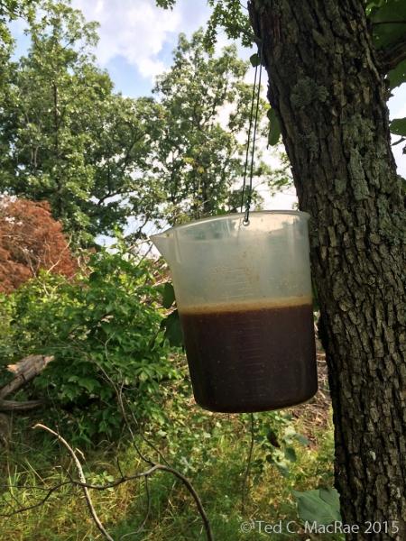 Molasses-beer fermenting bait trap