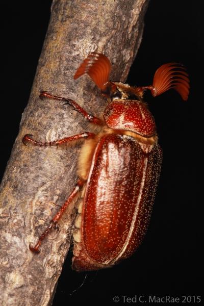 Polyphylla hammondi