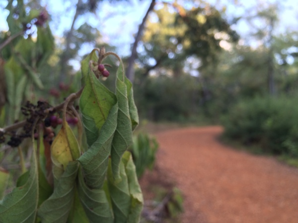 Wilted American beautyberry (Callicarpa americana)