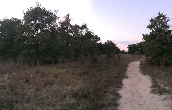 Sand woodlant habitat for Cicindela scutellaris rugosa