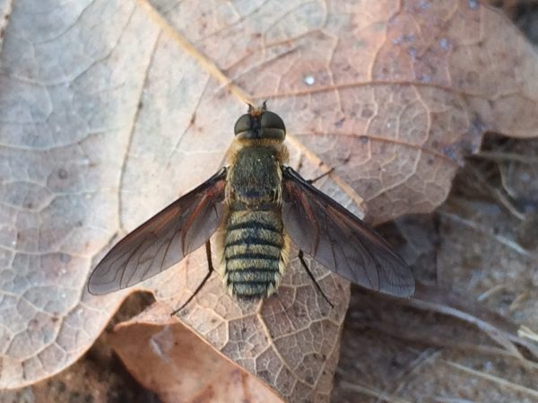 Undet. bee fly