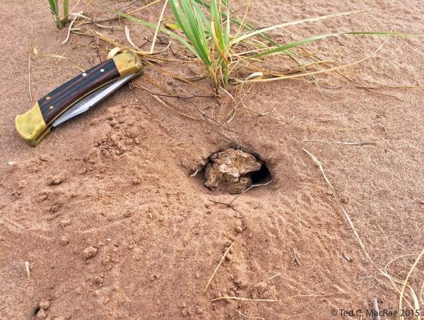 Eucranium belenae burrow