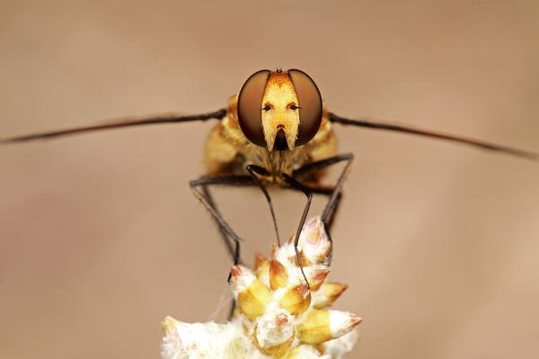 Poecilanthrax lucifer
