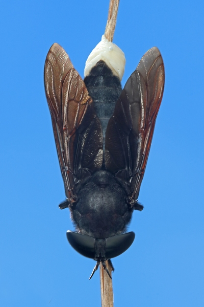 Tabanus atratus ovipositing