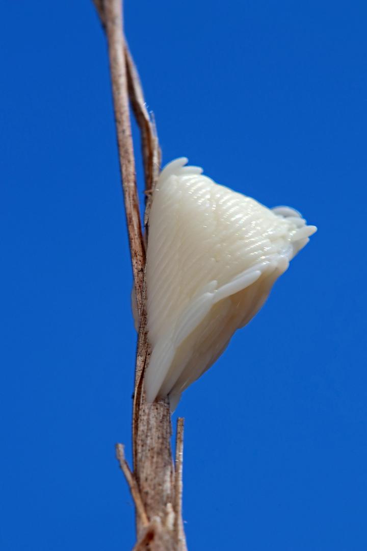 Tabanus atratus egg mass