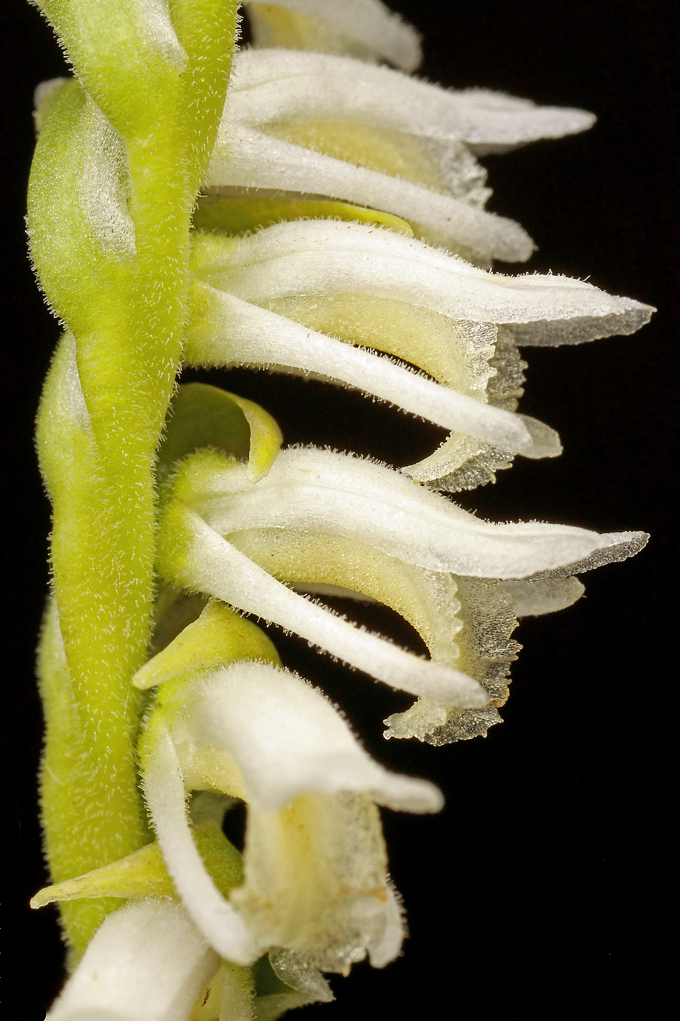 Spiranthes vernalis (spring lady's tresses)